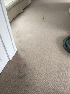 Stained Wool carpet prior to steam cleaning